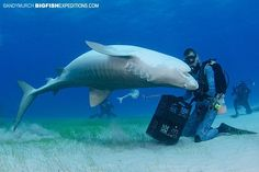 Tiger Beach will turn your perspective on sharks upside down! ~Big Fish Expeditions