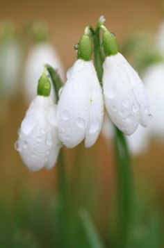 Flowers In The Spring Forest Snowdrops Macro Photography wallpaper Bunch Of Flowers, Love Flowers, Snow Drops Flowers, Hd Flower Wallpaper, Spring Forest, Weird Shapes, Lily Of The Valley, Winter Scenes, Macro Photography