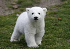 Little baby polar bear!