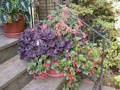 3826683564_b417e4255e_z.jpg (500×375) Fuchsia, Oxalis and Seemannia
