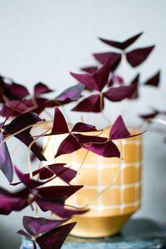Oxalis Triangularis (Purple Shamrock) - Easy To Grow Bulbs.