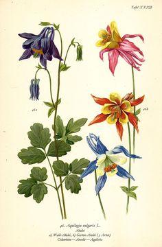 AKELEI AQUILEGIA VULGARIS Botanik Farbdruck Antiker Druck Antique Print