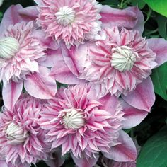 Clematis 'Josephine'  so beautiful!