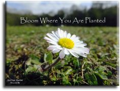 """""""Bloom where you are planted"""" quote on photo of single wild daisy - Spiritual Quotes To Live By"""