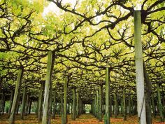 Grape vines Incorporate them into your home or village.