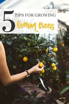 Have you ever thought about growing your own lemons? Here are 5 Easy Tips for growing lemon trees. Growing your own lemon tree is fun and not hard at all. Lemon Tree Potted, Lemon Plant, Citrus Trees, Potted Trees, Lemon Tree Plants, Florida Landscaping, Florida Gardening, Landscaping Tips, Garden Landscaping