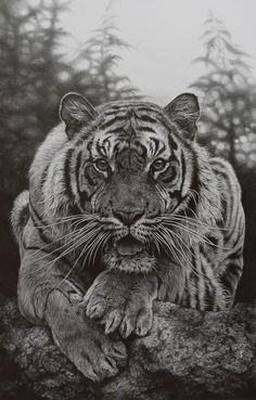 Julie rhodes, wildlife artist, pencil drawings of wildlife, animal drawings, wildlife prints, wildlife originals, original wildlife art, wildife pictures, drawing, Marwell, NEWA, born free,