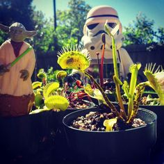 May the fourth be with you. Happy Star Wars day!  Even Yoda and a stormtrooper can get along when there are carnivorous plants around.  #maythe4thbewithyou #maythefourthbewithyou #maytheforcebewithyou #carnivorousplants #carnivoroustagram #yoda #starwars #plants #texasgardening #backyardgardening #gardening #garden #venusflytrap #casualcarnivore #stormtrooper #greenthumb #dionaea by casualcarnivore