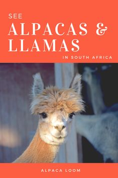 A visit to The Alpaca Loom just past Fairview and Spice Route wine farms. Cape Town, Farms, Loom, South Africa, Spice, Places To Visit, Travel Inspiration, Travelling, Destinations