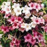 Weigela florida 'Nana Variegata' (Weigela 'Nana Variegata') Click image to learn more, add to your lists and get care advice reminders  each month.