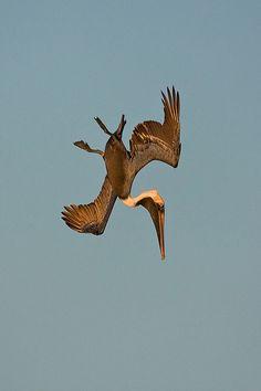 Diving Brown Pelican