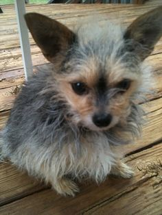 13 Pictures Of Chihuahua Yorkie Mix Aka Chorkie And Breed