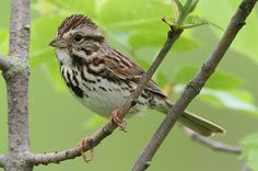 "Song Sparrow: Ornithologists recognize more than 30 subspecies of the remarkably adaptable Song Sparrow. Because song sparrows seem to learn the structure of their music from other song sparrows, local ""dialects"" are common. Find out more at birdsandblooms.com."