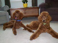 Red Standard Poodles
