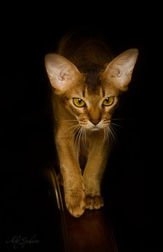 All sizes   Night hunter (abyssinian cat)   Flickr - Photo Sharing!