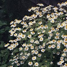 Buy feverfew - organic seeds / Tanacetum parthenium Tanacetum parthenium - A pretty addition to the herb garden: approx 300 seeds: Delivery by Crocus Growing Grass, Growing Herbs, Apartment Herb Gardens, Buy Hydrangeas, Deer Resistant Plants, Seeds For Sale, Herb Seeds, Veg Garden, Organic Seeds