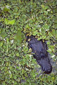 pantanal, mato grosso do sul, brasil