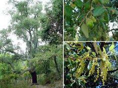 Quercus suber (alcornoque) Árbol de hoja perenne de hasta 20m de altura con corteza gruesa y agrietada. Si el clima es suave puede producir tres cosechas de bellotas al año. Requiere un suelo arenoso
