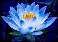 FREE SHIPPING 20 SEED Blue Fairy Lotus Flower Seeds Gorgeous Aquatic Plants Label: Lotus12