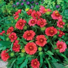 """12"""" x 12"""" wide. A new color companion to the fabulous 'Arizona Sun' Gaillardia, 'Arizona Red Shades' brings gardeners a dwarf, well branched variety that thrives in dry heat. The gorgeous flowers with brick red petals and a darker burgundy cone keep coming all summer. Once established, the plants perform best with only occasional deep watering. We recommend this variety as an outstanding, easy-to-grow choice for your hottest, sunniest garden spots. Zones 4-10. 5"""" deep Premium pot."""