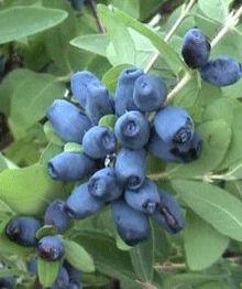 Honeyberry Shrub - Produces Sweet Fruit - in shady spot