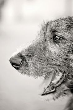 Leo, by Jessica Collins, from flickr.  #wolfhound