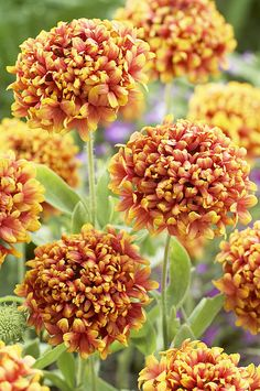 Blanketflower Gaillardia