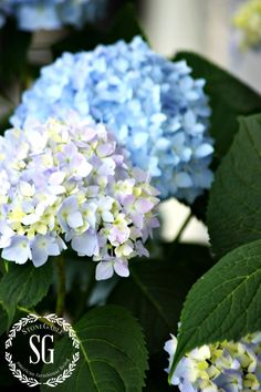 The abundant blooms of hydrangea make lovely cut arrangements, but require extra care to make them last. Follow StoneGable blog's tips for maximizing these beautiful blooms. || @stoneg