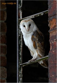 Barn Owl.                                                          (Photograph By: Major Gilbert, UK.)