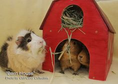 Cali Cavy Collective: Wooden guinea pig barn house - love the built-in hay loft!