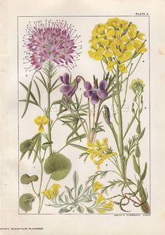 Vintage Botanical Print, Antique 1915 Art Illustration, Flower Wall Decor, Plate 5, Yellow Violet, Wall Flower. $10.00, via Etsy.