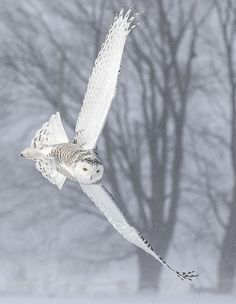 Winter's flight - A snowy owl flies silently in frigid temperatures in Ontario, Canada.