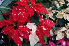Kunterbunt  #sfe #poinsettia #weihnachtsstern