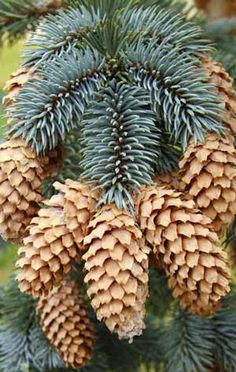Spruce cones have thin, flexible scales