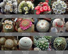 Cacti And Succulents, Cactus Plants, Cactus Identification, Cactus Names, Air Plant Terrarium, Cactus Y Suculentas, Plant Care, Amazing Flowers, Air Plants