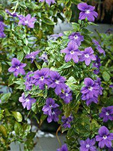 Gardening+Guide:+Browallia
