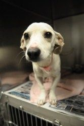 Cracker 103151 is an adoptable Dachshund Dog in Joplin, MO. CRACKER WAS SURRENDERED BECAUSE HER OWNER WAS UNABLE TO GET HER POTTY TRAINED. SHE DID WELL WITH THE TWO AND FOUR YEAR OLD CHILDREN IN THE H...