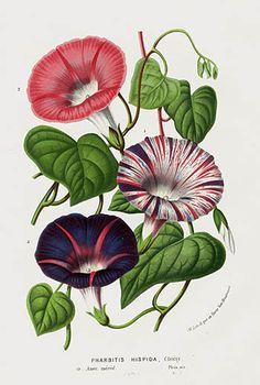 "1845 Louis Van Houtte Botanical Print ""Morning Glory,"" (Pharbitis hispida)"