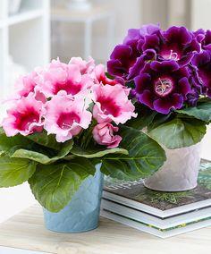 Gloxinia (Sinningia) 'Avanti' Cat Friendly Plants, All Plants, Potted Plants, Indoor Plants, Indoor Garden, Elegant Flowers, Pretty Flowers, Flower Vases, Flower Pots