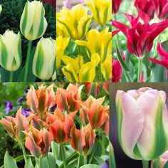 Tulip Viridiflora Collection