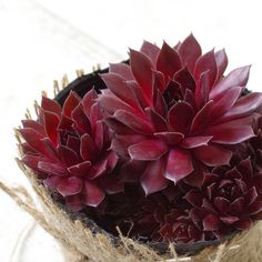 Sempervivum Red Lion is a wonderful succulent with the rosettes are vibrant rich red with green tips and sometimes have yellow variegated color as well. Black Succulents, Types Of Succulents, Colorful Succulents, Green Tips, Hens And Chicks, Greenhouse Gardening, Rosettes, Houseplants, Indoor Plants