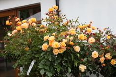 Amber Carpet Roses - Long flowering season, rich green foliage, compact bush and naturally disease resistant. Colorful Garden, Summer Flowers, Compact, Amber, Carpet, Roses, Colour, Seasons, Green
