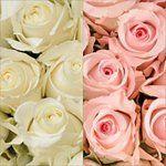 Roses - Light Pink & White - 125 Stems
