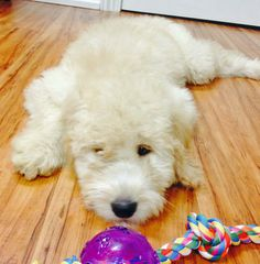 Cabo the Goldendoodle
