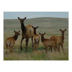 Cow Elk and Calves Print - Flatlandersam Cow Elk, Elks, Elk Hunting, Wild Life, Kangaroo, Calves, Cool Stuff, Poster, Photography