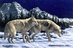 grey wolves in winter