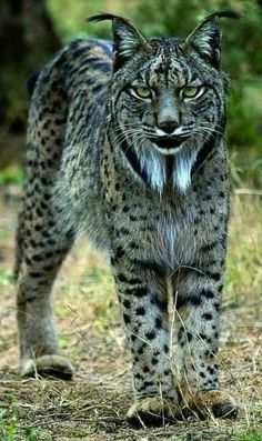 Iberian Lynx the Most Endangered Cat Species in the World Majestic Animals, Rare Animals, Animals And Pets, Wild Animals, Big Cats, Cats And Kittens, Cute Cats, Beautiful Cats, Animals Beautiful