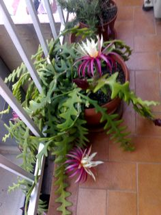 Orchid Cactus, Cactus Flower, Beautiful Flowers Garden, Exotic Flowers, Succulent Terrarium, Cacti And Succulents, Catus Plants, Cactus House Plants, Indoor Plant Pots