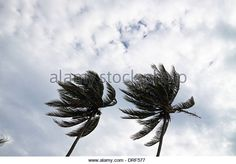 coconut-palm-trees-bending-in-a-strong-wind-drf577.jpg (640×447)