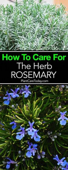 Rosemary plant, a fragrant, delicious excellent herb to grow, potted or in the garden. Easy to grow, once established, will thrive problem free for years. #vegetablesgardening